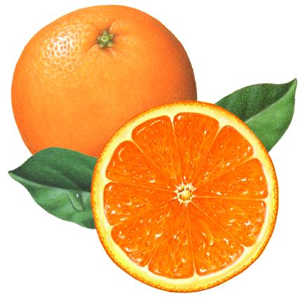 citrus fruit stock art douglas schneider illustration