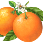 Two oranges on a branch with leaves and an orange blossom flower