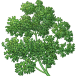 Bunch of curly parsley