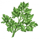 Flat leaf parsley branch