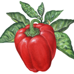 Red bell pepper on a branch with leaves and pepper flowers