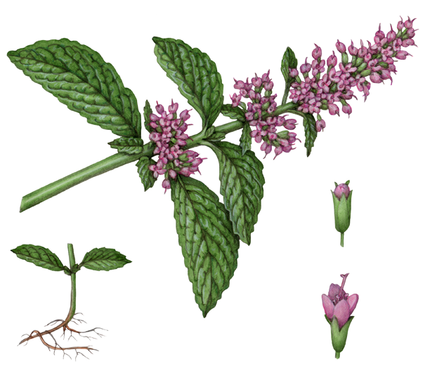 Medicinal & Fragrance Herbs Stock Art - Douglas Schneider