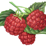 Three red raspberries with leaves