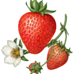 One large strawberry with two small berries on a stem with a strawberry flower.