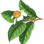 Tea plant with tea leaves and flower