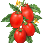 Four Roma tomatoes on a branch with leaves and tomato flowers.