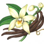 Vanilla plant with one flower, two bud, two leaves and three beans