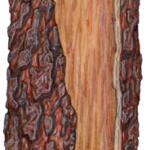 A front view of curled Australian ironbark bark.