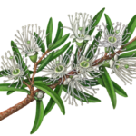 A branch of Australian Kunzea Ambigua with white flowers and leaves.