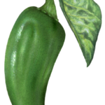 One whole jalapeno pepper with a leaf.