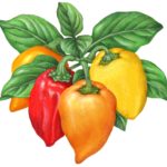 Four habanero peppers on a branch, orange, yellow and red.