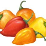 Five habanero peppers; three orange, one red and one yellow.