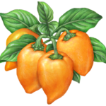Four orange habanero peppers on a branch with leaves.