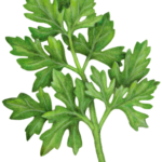 Italian flat leaf parsley.
