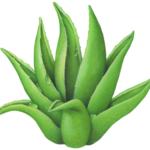 Aloe vera plant with water droplets.