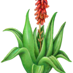 Aloe vera plant with red flowers.