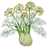 Fennel plant with stalk, leaves and flowers.