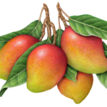 Mango tree branch with four mangoes and leaves.