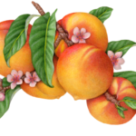 Peach tree branch with five peaches, and peach flower blossoms and buds with leaves.