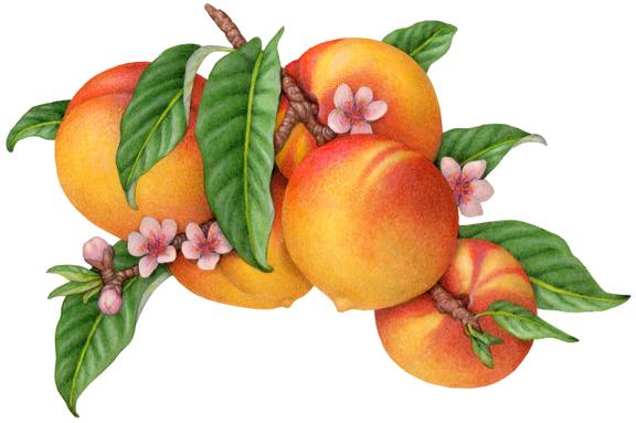 domestic fruit stock art illustration douglas schneider