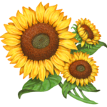 Three sunflowers with stems and leaves.