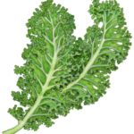 Two leaves of kale.