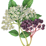 Elder flower and elder berries with a branch of leaves.