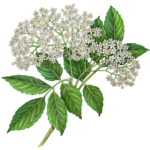 A branch of elder flowers.