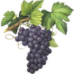 Bunch of purple grapes on a vine with leaves.