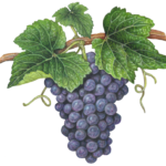 Bunch of red, Cabernet grapes on a vine with leaves.