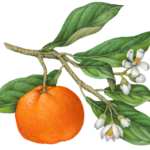 Honey Murcott Mandarin orange on a branch with leaves and orange blossoms.