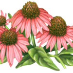 Three pink echinacea flowers with two flower buds and leaves.