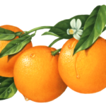 Three oranges on a tree branch with leaves and a flower.