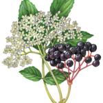 Elder flower and elder berries with a branch of leaves.