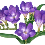 Five opened purple freesia flowers with buds and leaves.