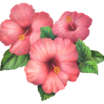 Three hibiscus flowers with leaves.