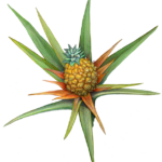 Pineapple plant with a baby pineapple.