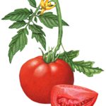 Tomato plant with one whole tomato, a cut tomato wedge, a yellow tomato blossom, and leaves.