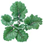 Kale blue groninger plant