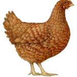 Brown chicken hen.