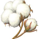 Cotton bolls on brown stems.