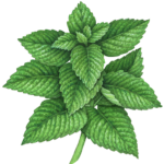 Vertical stem of mint with fourteen leaves.