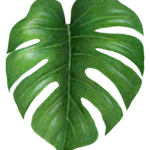 Philodendron Tropical Leaf