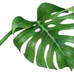 Split Leaf Philodendron Monstera