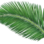 Coconut Palm Branch
