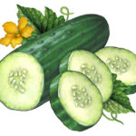 Painting of a cut cucumber half with three slices, leaves, and a flower.