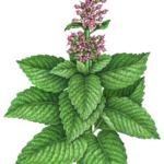Mint plant with purple flowers
